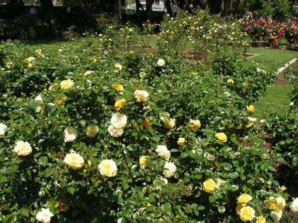 Everything coming up roses at Los Angeles Exposition Park Rose ...