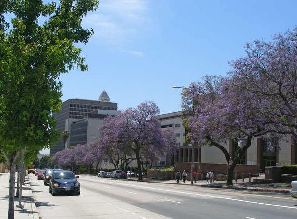 Los Angeles Downtown Temple Street jacarandas