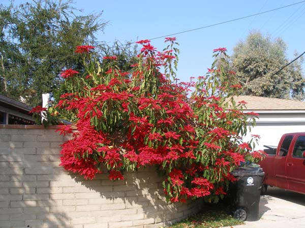 culver city poinsettias