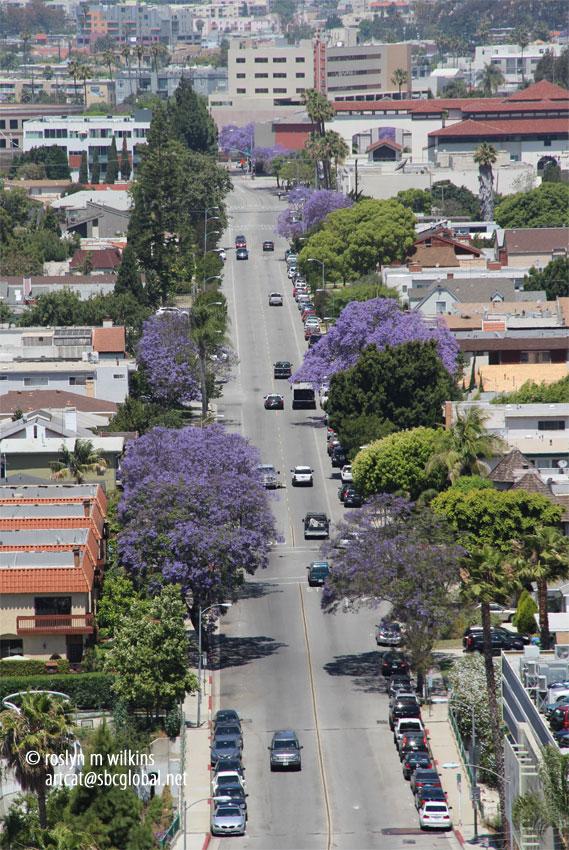 culver city jacarandas
