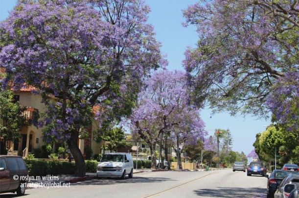 jacarandas culver city
