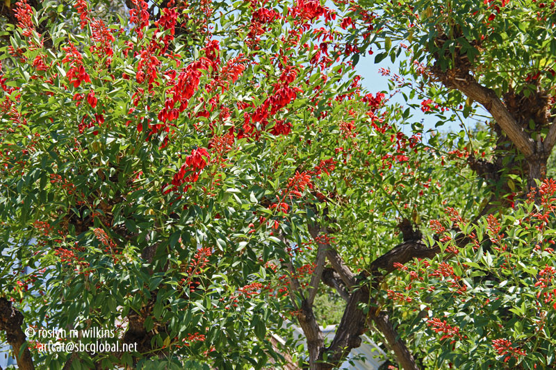 coral tree, the official tree of Los Angeles.