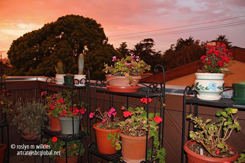 geraniums on my deck