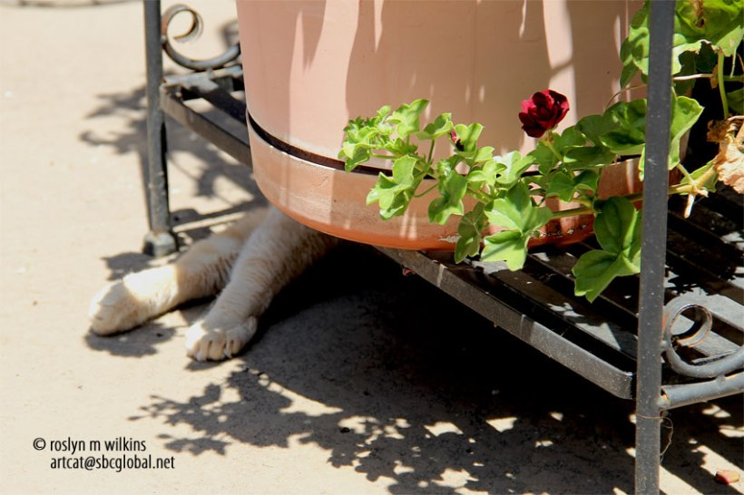 cat and the geranium