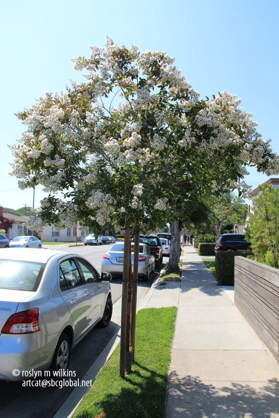culver city crepe myrtles