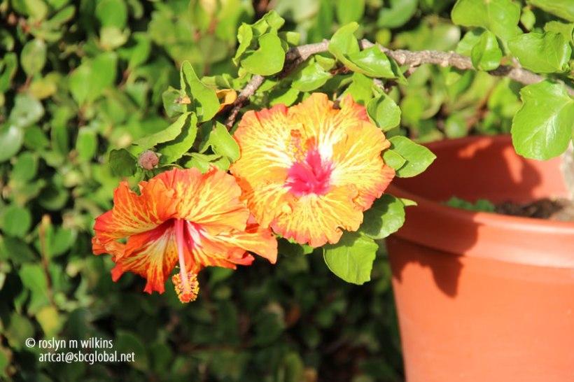 hibiscus-092113-003-C-850px