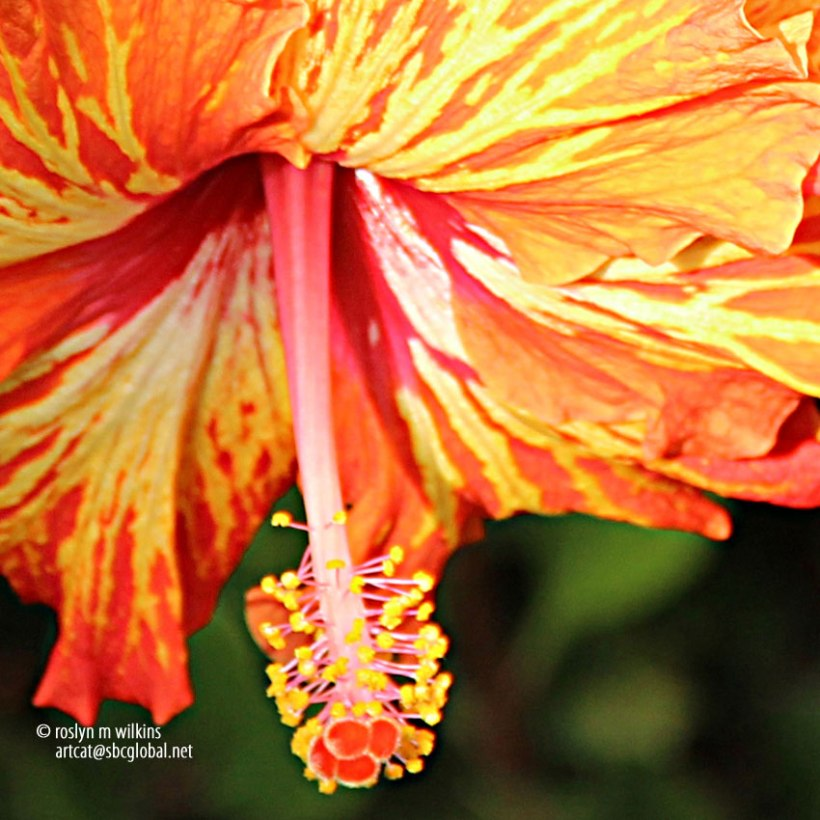 flame hibiscus