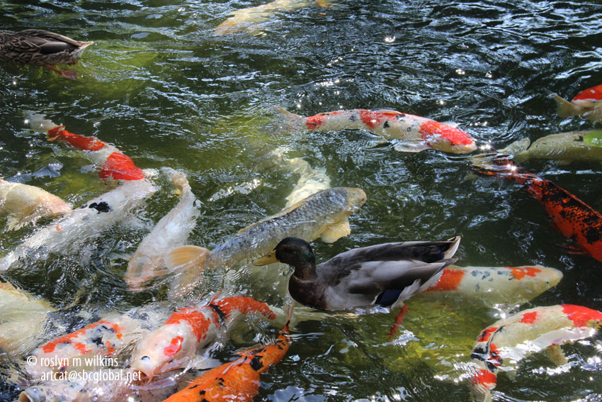 301 moved permanently for Koi fish pond csulb