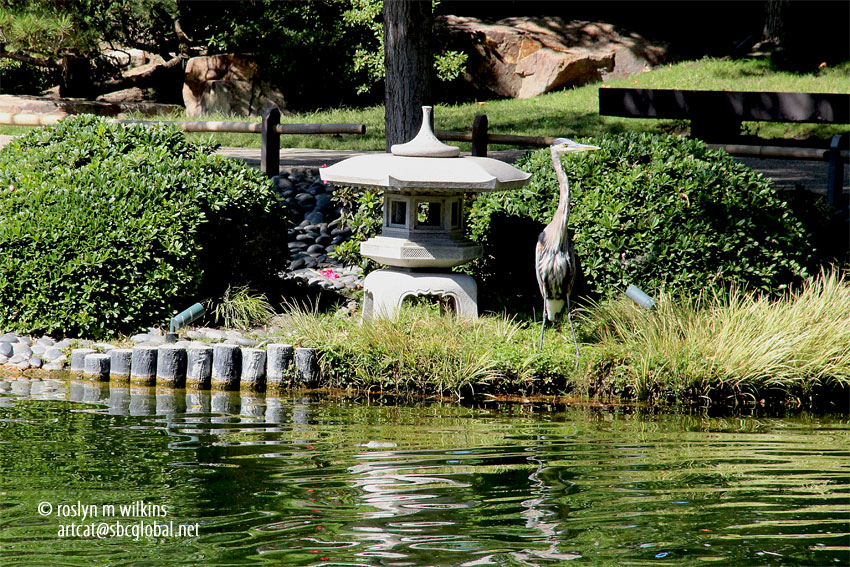 California state university long beach rmw the blog for Csulb japanese garden koi pond