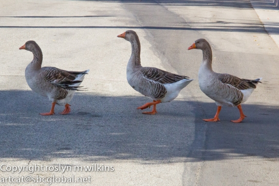 Geese crossing. Make way!