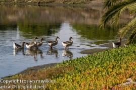 Wading geese