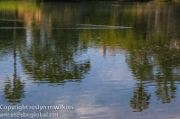 Mud hen wake and tree reflections