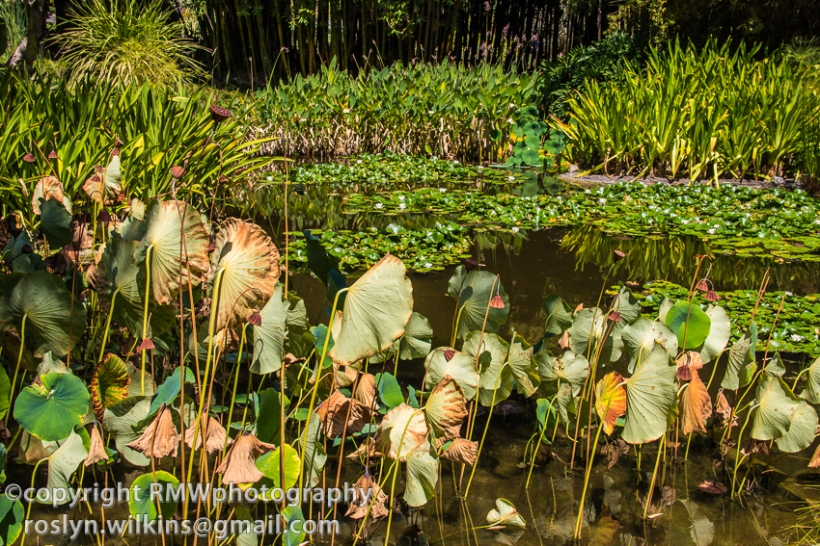 lily ponds huntington gardens