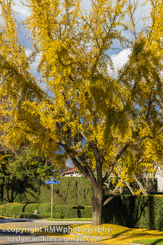 ginko trees san marino