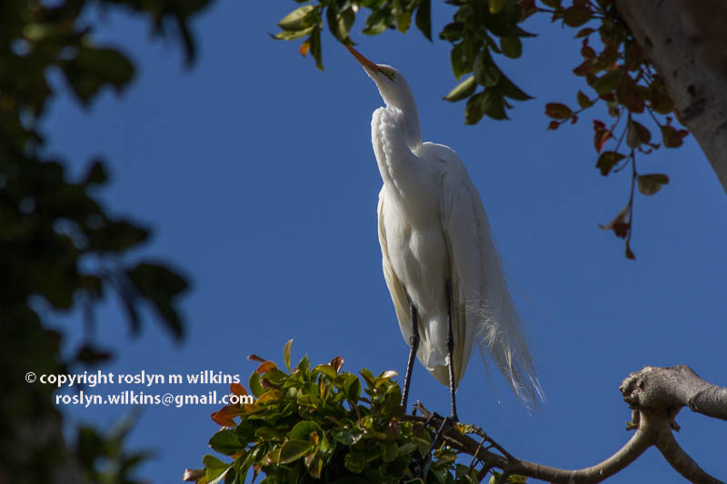 malibu egrets