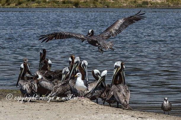 Malibu Pelicans