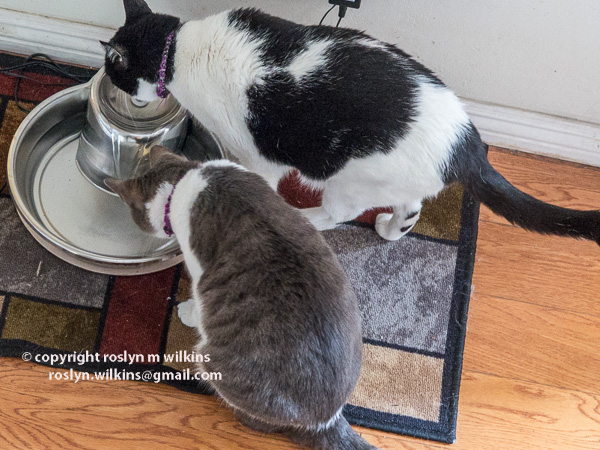 freddie and frankie water dish