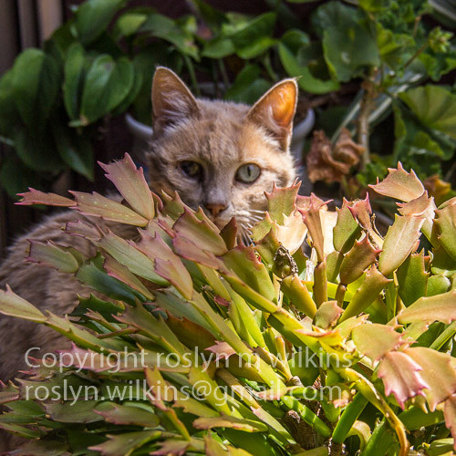 pharoah christmas cactus