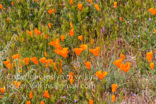 antelope valley poppies