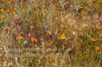 antelope-valley-poppies-041017-027-C-500px