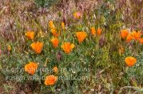 antelope-valley-poppies-041017-032-C-500px
