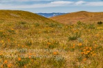 antelope-valley-poppies-041017-036-C-500px