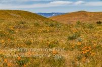 antelope-valley-poppies-041017-036-C-500px