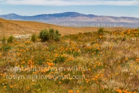 antelope-valley-poppies-041017-065-C-500px