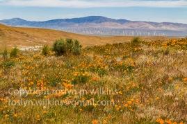 antelope-valley-poppies-041017-065-C-500px