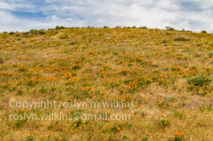 antelope-valley-poppies-041017-069-C-500px