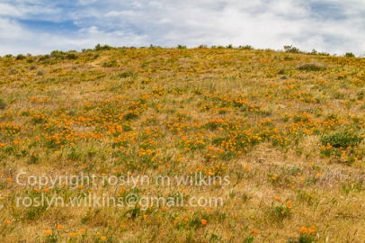 antelope-valley-poppies-041017-069-C-500px