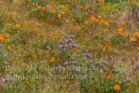 antelope-valley-poppies-041017-084-C-500px