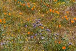 antelope-valley-poppies-041017-084-C-500px