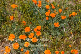 antelope-valley-poppies-041017-158-C-500px
