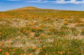 antelope-valley-poppies-041017-160-C-500px