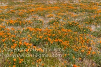 antelope-valley-poppies-041017-164-C-500px