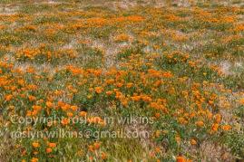 antelope-valley-poppies-041017-164-C-500px
