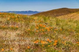 antelope-valley-poppies-041017-169-C-500px