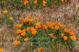 antelope-valley-poppies-041017-171-C-500px