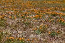 antelope-valley-poppies-041017-172-C-500px