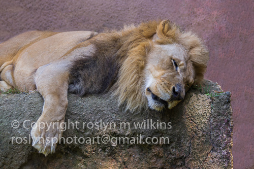 LA Zoo big cats
