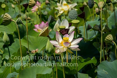 lotus-festival-071517-038-C-500px