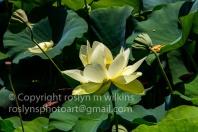 lotus-festival-071517-190-C-500px
