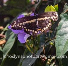 NHM-butterflies-061518-048-C-500px