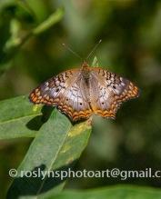 NHM-butterflies-061518-051-C-500px
