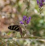 NHM-butterflies-061518-052-C-500px