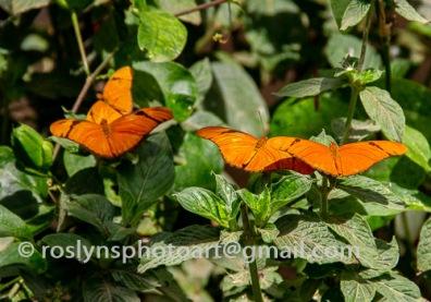 NHM-butterflies-061518-058-C-500px