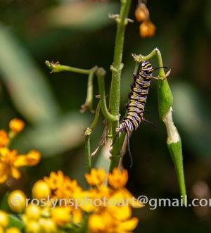 NHM-butterflies-061518-061-C-500px