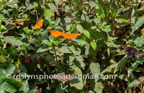 NHM-butterflies-061518-063-C-500px