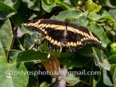 NHM-butterflies-061518-066-C-500px